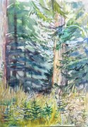 Nurse trees,Rain Forest BC  water colour 15 x 11in